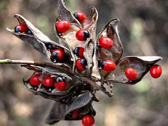 5горошина-розария