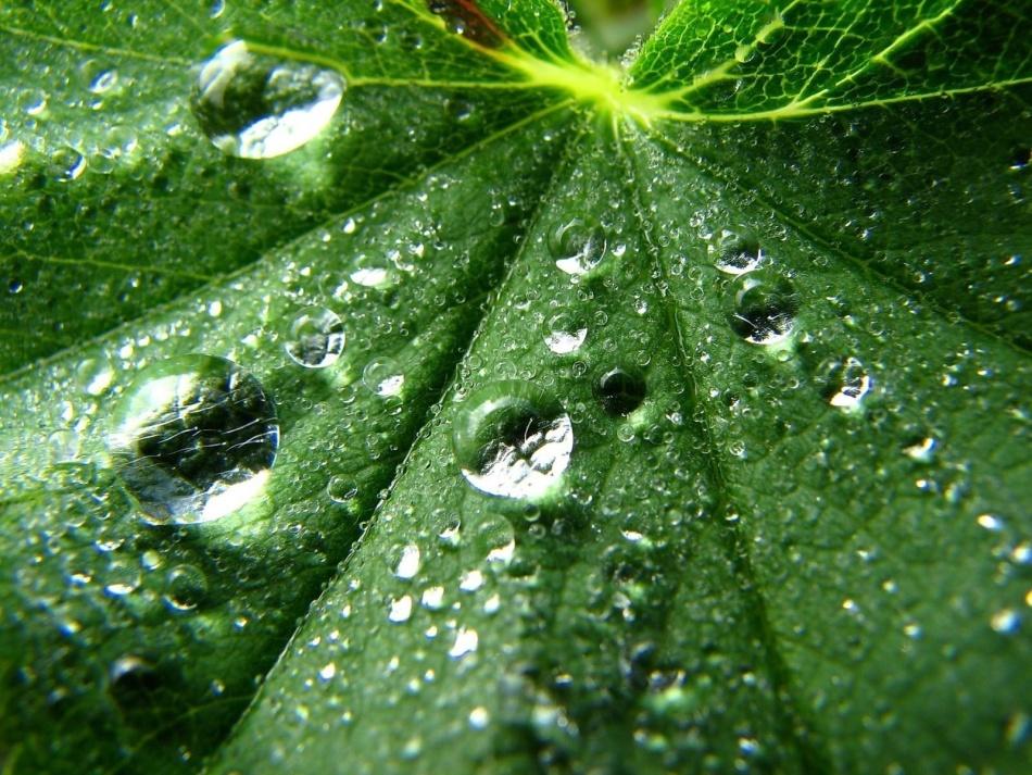 Лист лопуха в росе