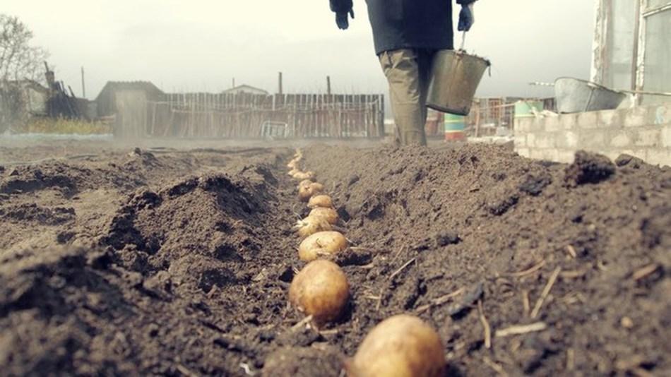Как вырастить молодой картофель?