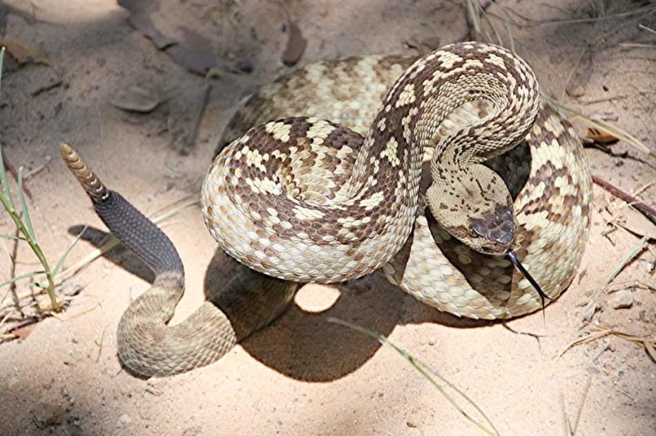 Гремучая змея - змея, которая предпочтет сначала договориться