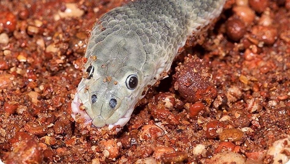 Носатая энгидрина - самая опасная морская змея