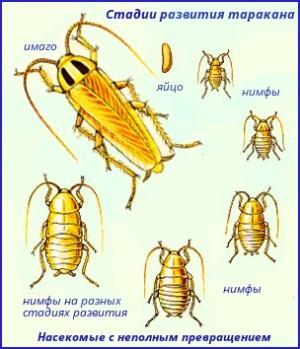 Стадии развития домашнего таракана.