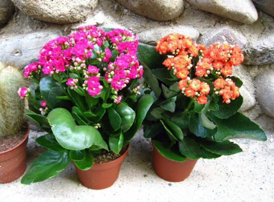 Цветущие каланхоэ расположены на южной части дома, потому обильно цветут