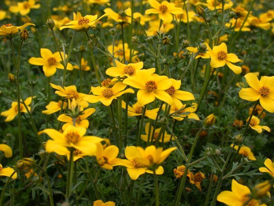 Цветок череды