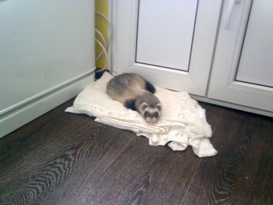 Домашнему хорьку нужно выделить место для сна