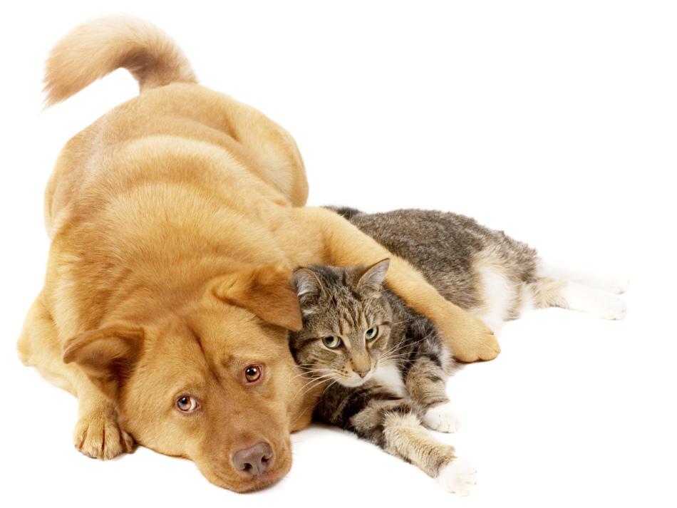 передается ли чумка от собаки к кошке