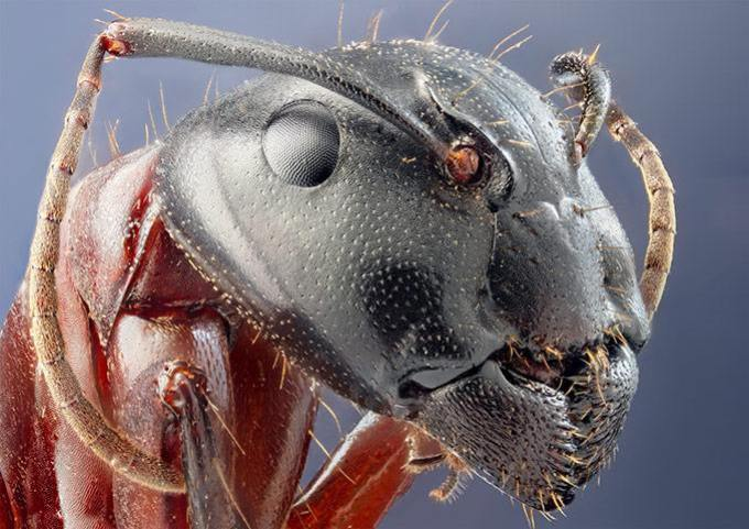 Муравей под микроскопом