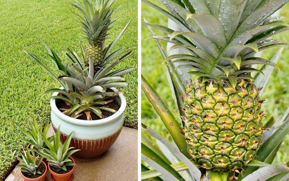 За домашним ананасом нужен правильный уход