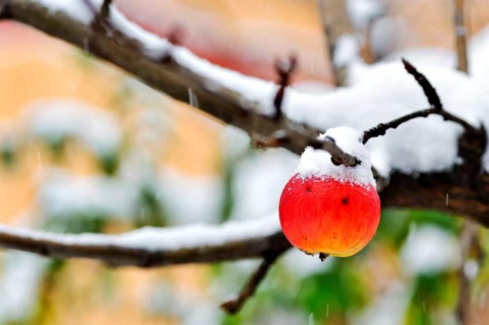 Яблоня зимой с замерзшим яблоком на ветке