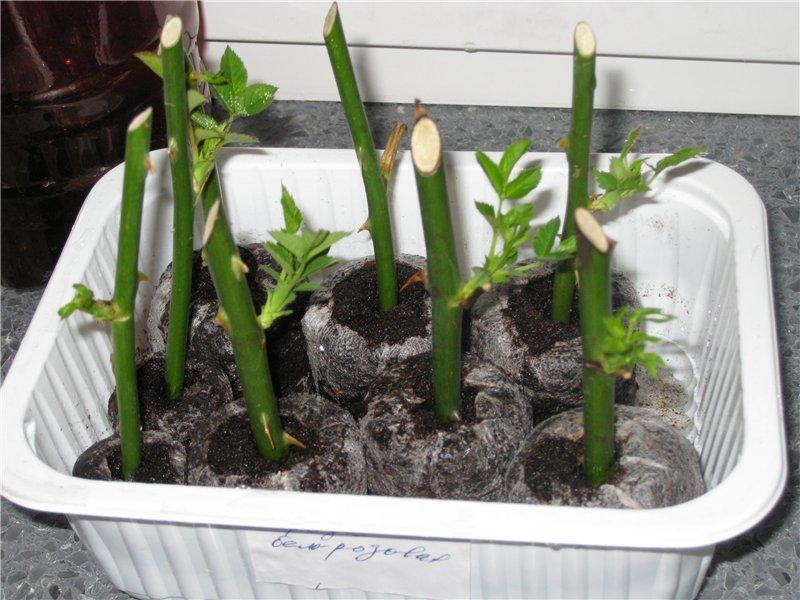 Выращивание роз с помощью картофеля