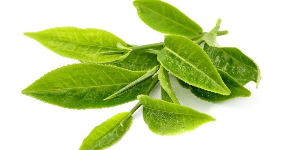 Зеленые чайные листья, в которых содержится много теанина