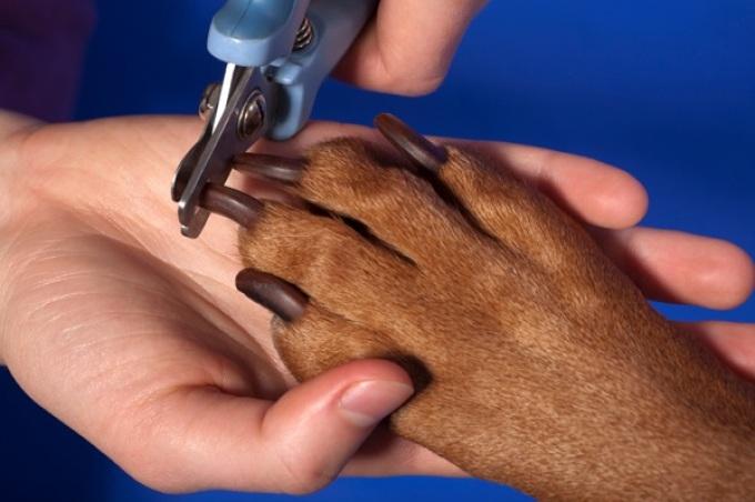 Как подстричь когти собаке: алгоритм действий, основные рекомендации для процедуры и приучения к ней, что делать при травмах 2