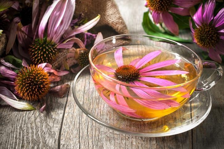 Эхинацея — чай из многолетнего цветка