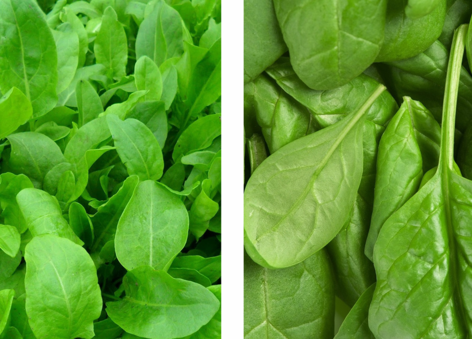 Слева листья щавеля, справа листья шпината