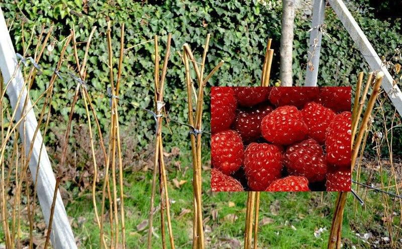 Урожай малины после обрезки