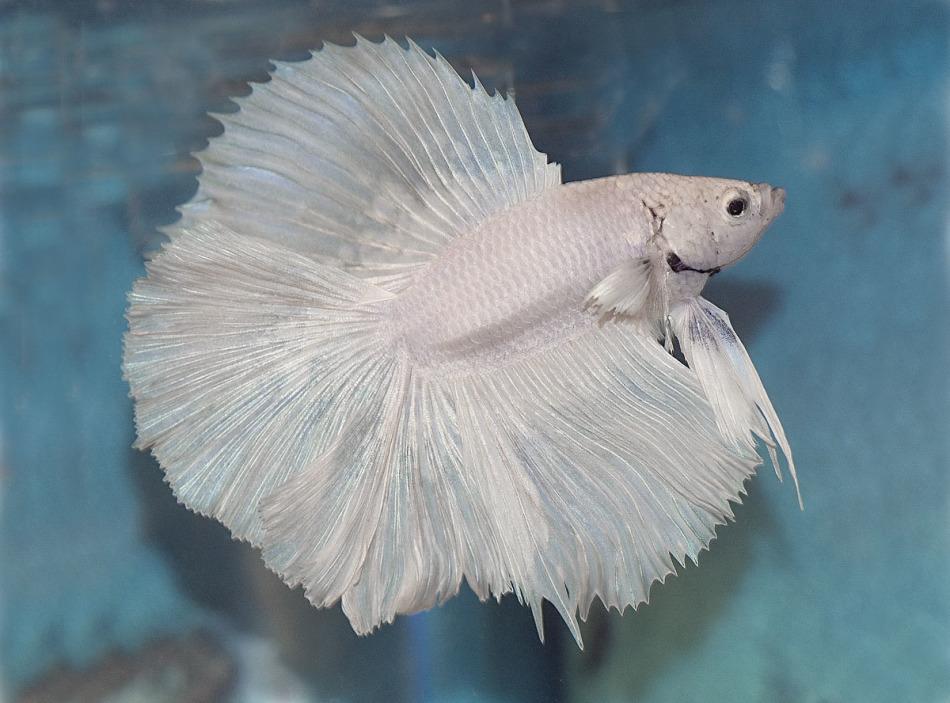 Петушки белые