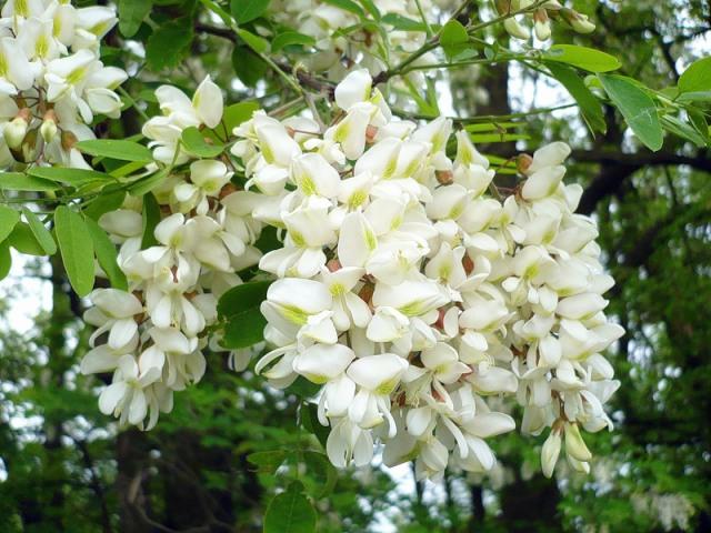 Дерево акация: виды, описание, фото