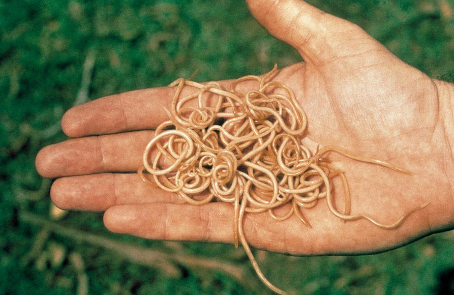 Расшифровка и нормы анализа кала на паразитов