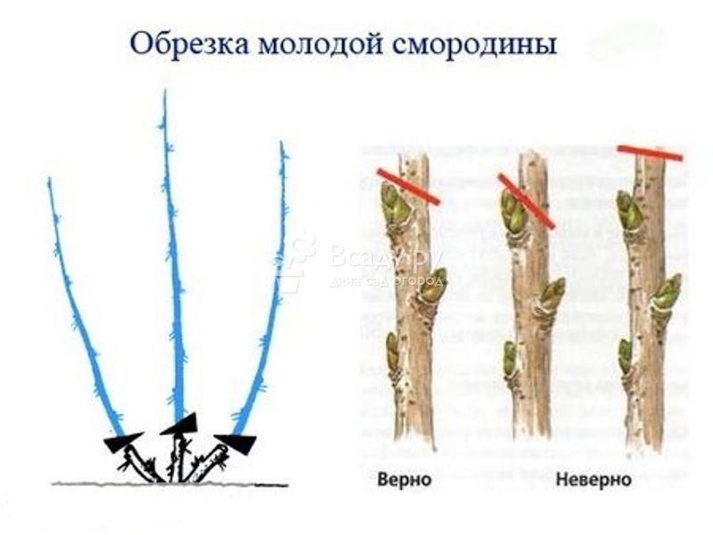 обрезка красной смородины весной для начинающих в картинках пошагово метисы хаски