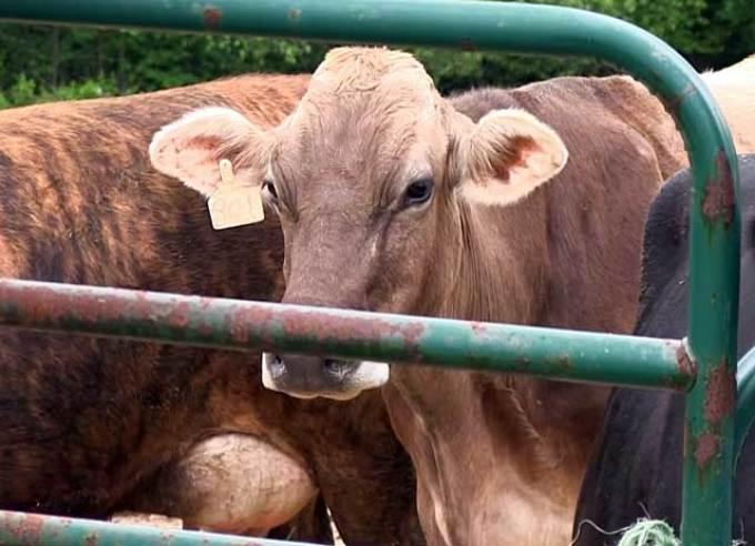 Лейкоз у коров