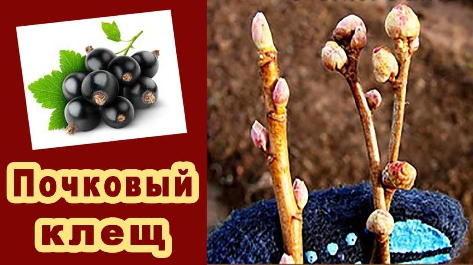 Пораженные ветки черной смородины почковым клещем