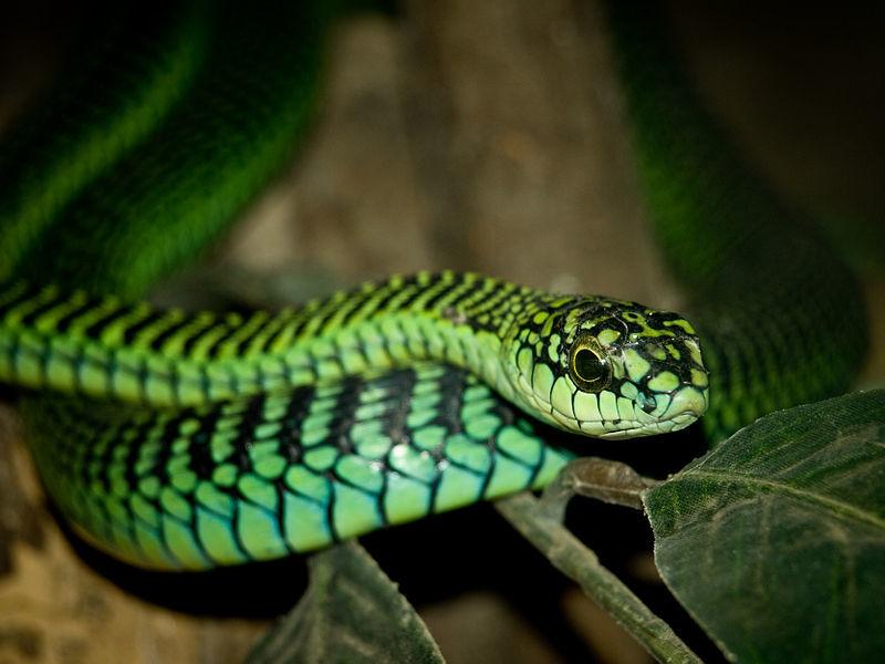 Африканский бумсланг - древесная змея, которая уничтожает клетки врага в мгновение