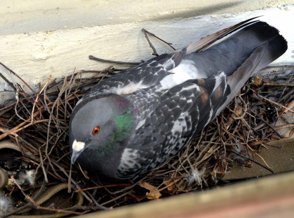 Может даже вить гнездо