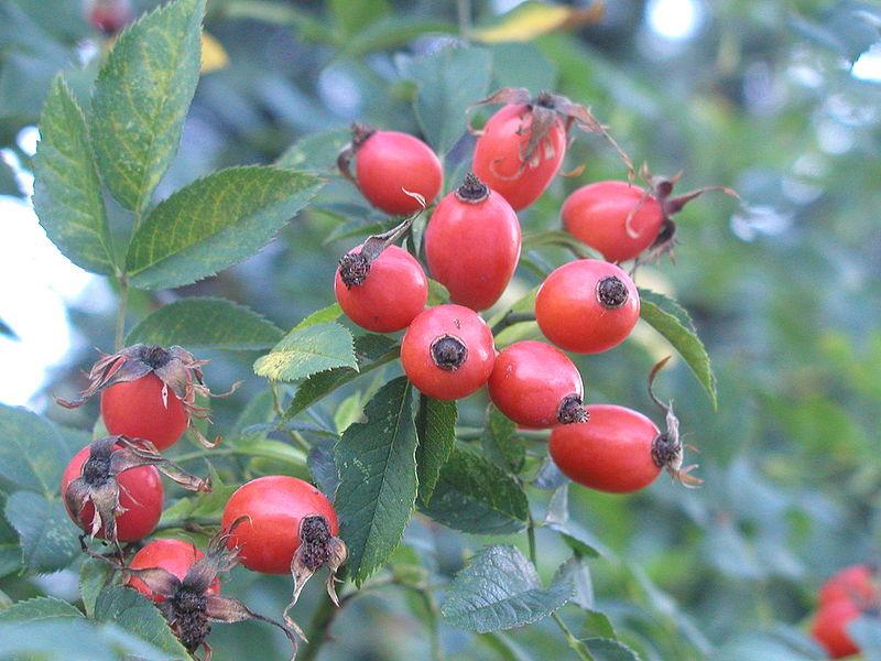 Семена для будущей розы можно добыть из плодов шиповника
