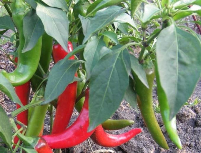 Горький перец можно сажать со многими культурами