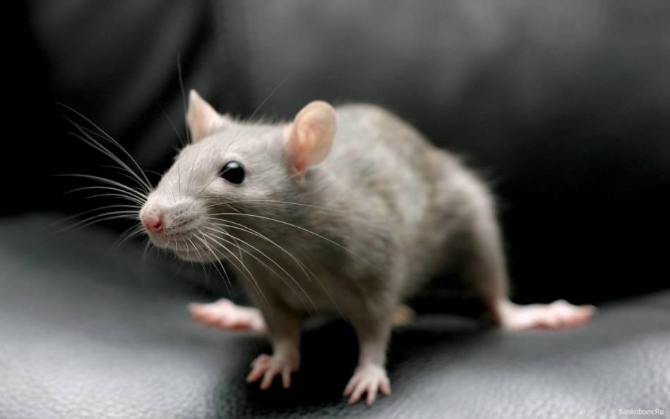 Крыса без хвоста снится к позору.