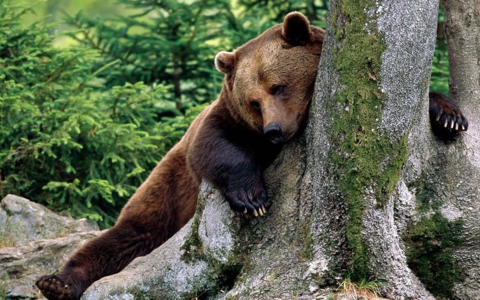 Добрый медведь в лесу во сне - к спокойной жизни и успешной работе.