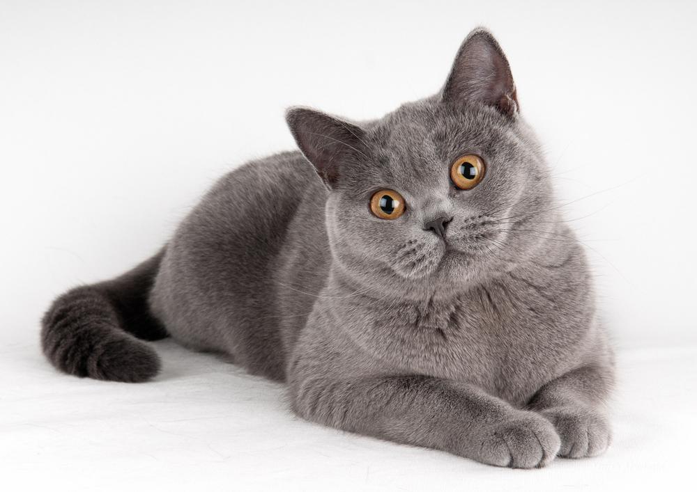 Британская короткошёрстная кошка или британка