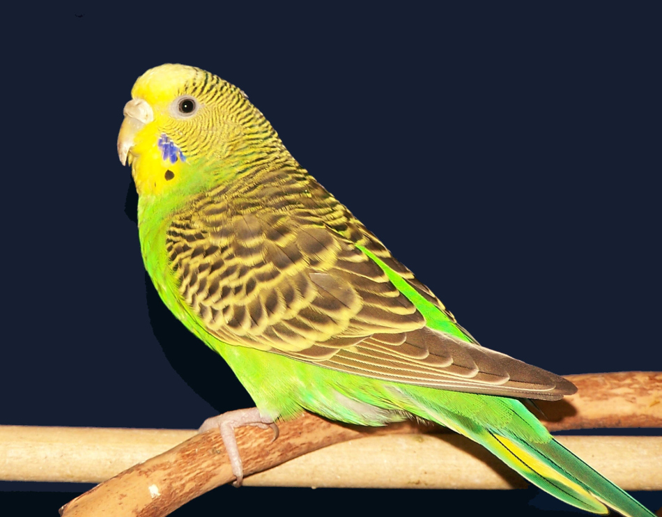 У волнистых попугаев-девочек восковица бежевая