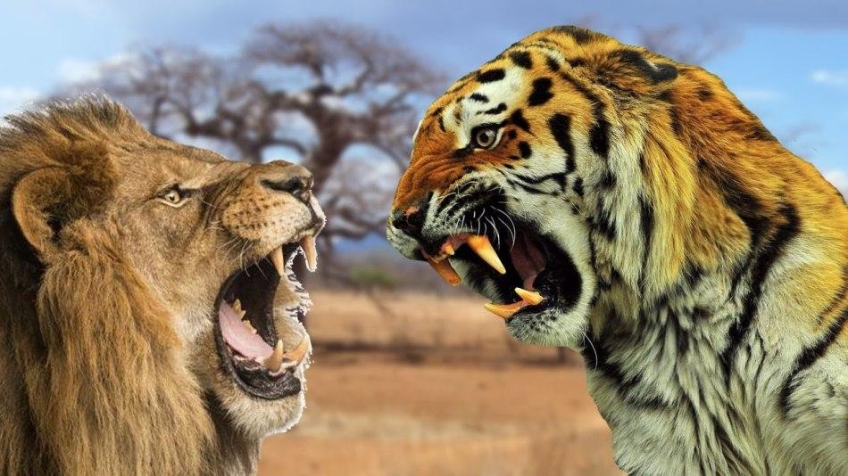 Лев и тигр фото
