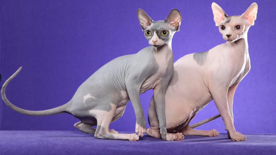 Течка кошка сфинкса