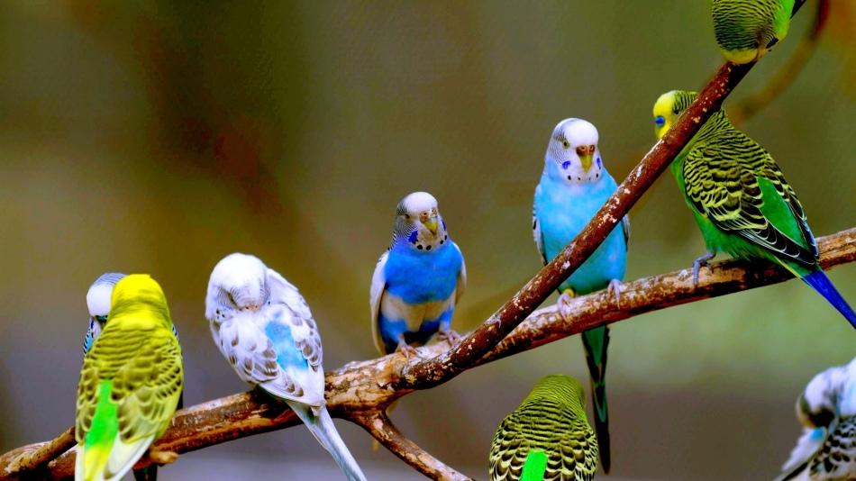 Волнистые попугайчики - красочные и болтливые питомцы