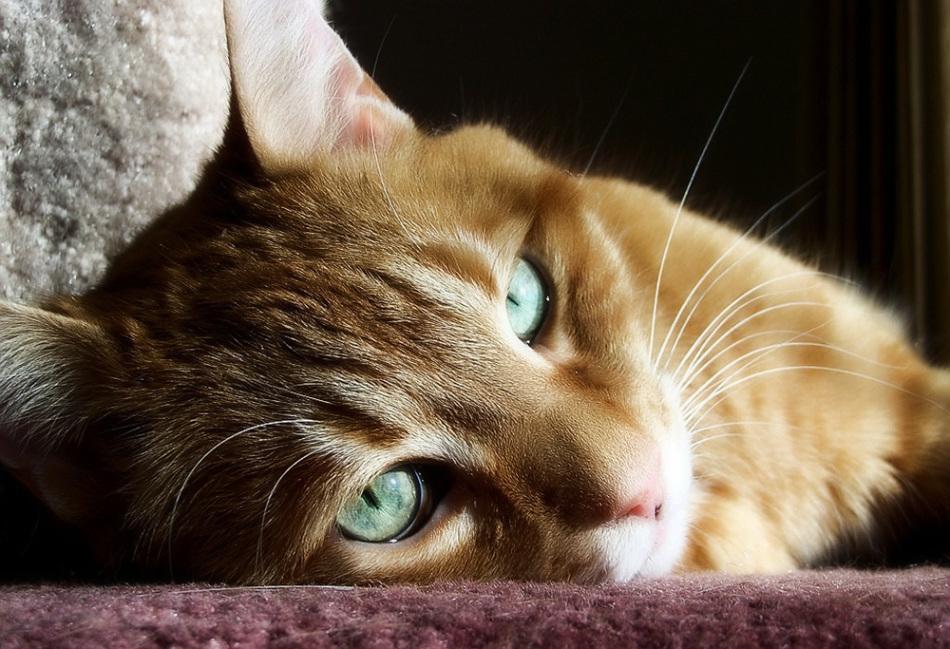 Комки шерсти в желудке у кота ухудшают его самочувствие.