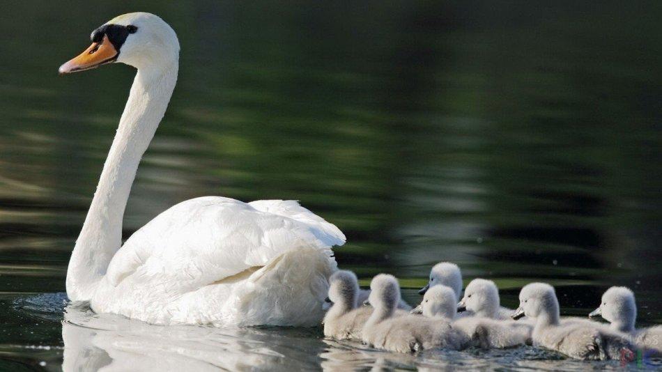 Мама-лебедь и её малыши